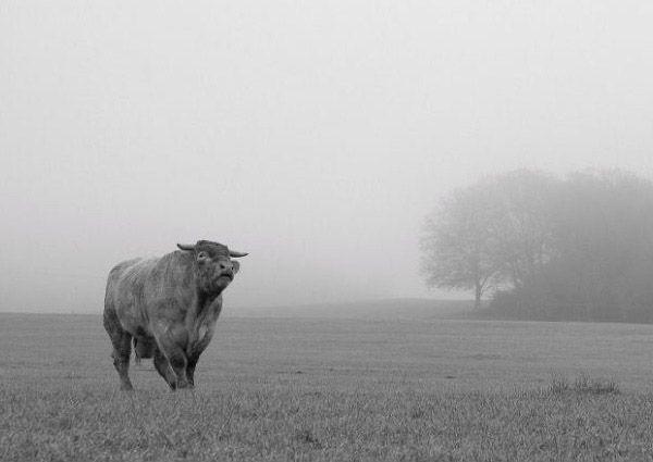 Jennifer-MacNeill-Cow