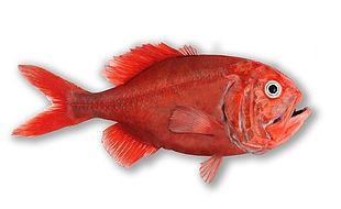 Image result for new zealand orange roughy nz