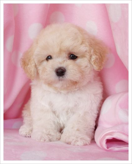 super tiny, toy poodle                                                                                                                                                      More