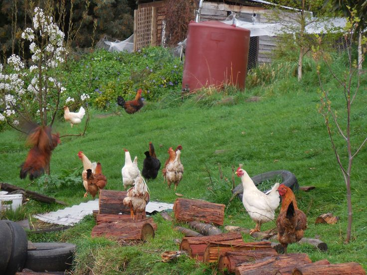 Our Post Lady's chickens on Old Road