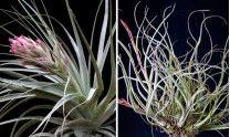 Tillandsia - Carnivorasland - Venta de plantas carnivoras Online