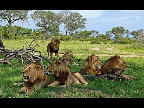The Mapogos - Legendary Lions of Africa