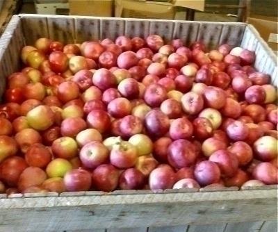 Pick Your Own Apples in RI   #VisitRhodeIsland