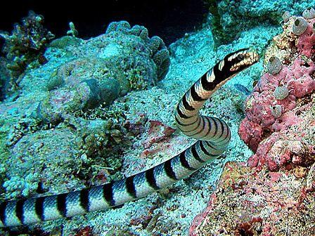 Black Banded Sea Krait