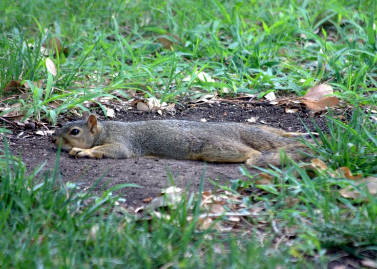 Squirrel cooling off in Texas heat. Cute squirrel