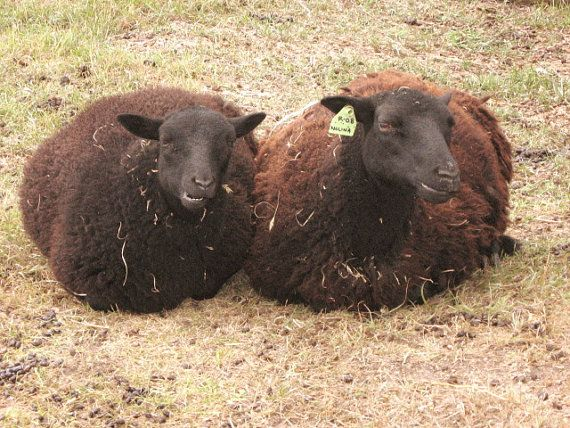 Raw Black Welsh Mountain Sheep Wool true by woolywoolofthewest