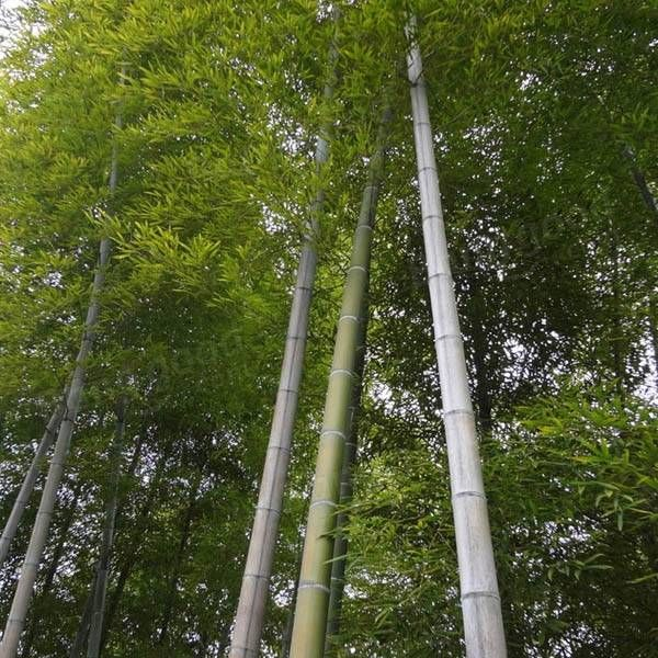 100pcs Garden Evergreen Arbor Moso Bamboo Seeds Courtyard Phyllostachys Pubescens Plants at Banggood