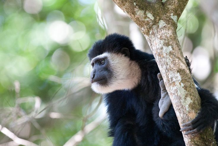 Colobus Monkeys: A Guide to Appearance and Behavior