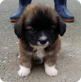 pomeranian lab mix best 20 pomeranian for adoption ideas on pinterest 9409