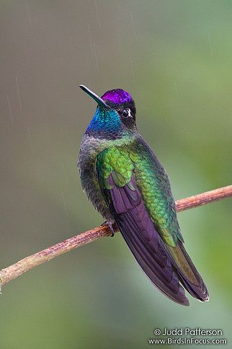 Magnificent Hummingbird. A large hummingbird that lives in the mountains of the southwestern U.S. to western Panama