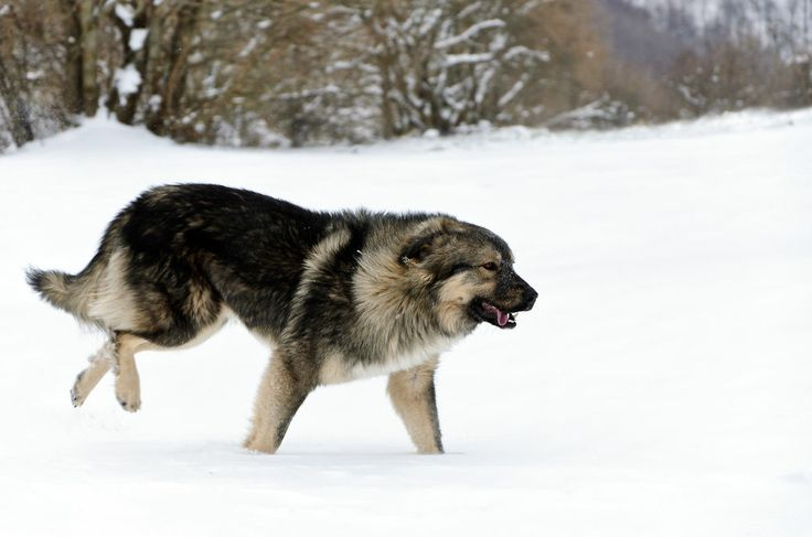 sarplaniac photo   BILLEDSERIE: Her er de 13 forbudte hunderacer   Nyheder   DR