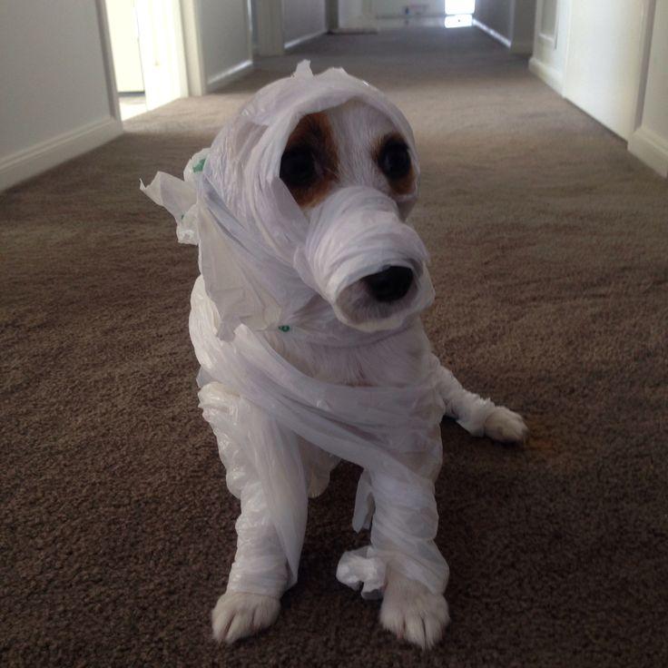 The return of mummy #milo in mummy custome #so cute #happy howloween #PETstockHowlOween