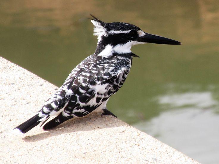 Pied Kingfisher.
