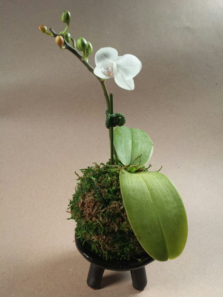 78+ Images About Orchids And Bonsai On Pinterest
