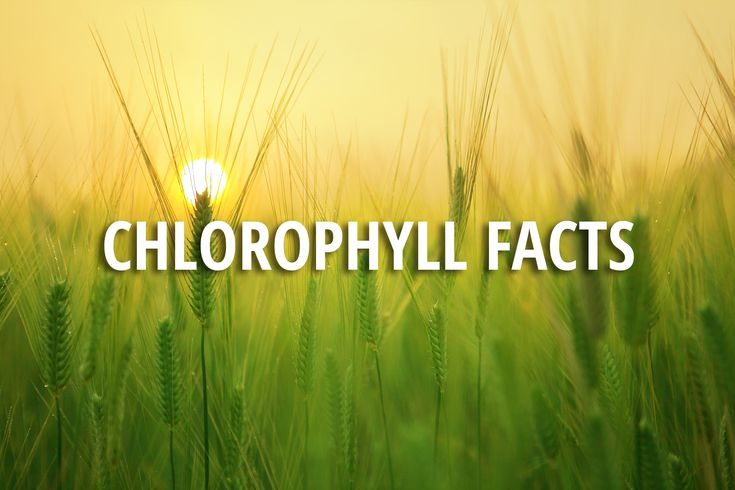 Chlorophyll Facts | Evergreen Juices