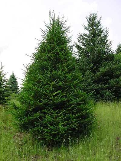 For the west side of our yard windbreak garden.    Norway Spruce (picea bies) Fast growing Ideal Windbreak Tree Grows 40' to 60' tall with a 25' to 30' spread Zones 3-7