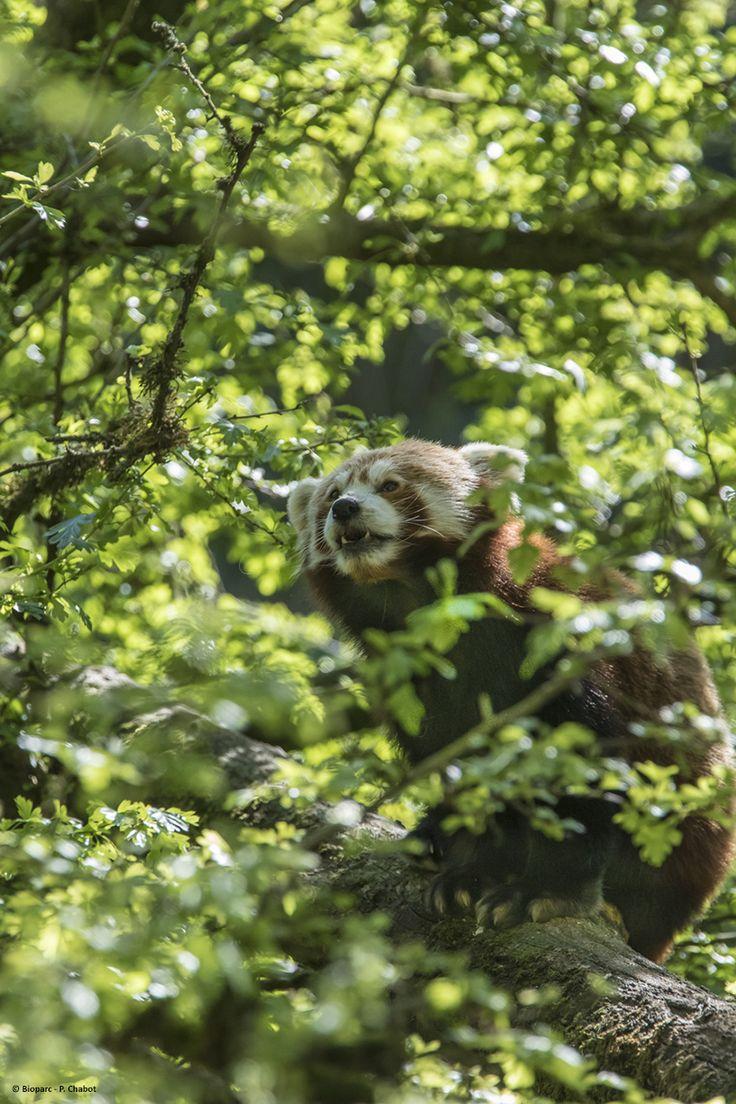 Les pandas roux aiment à se percher dans les arbres de leur parc.