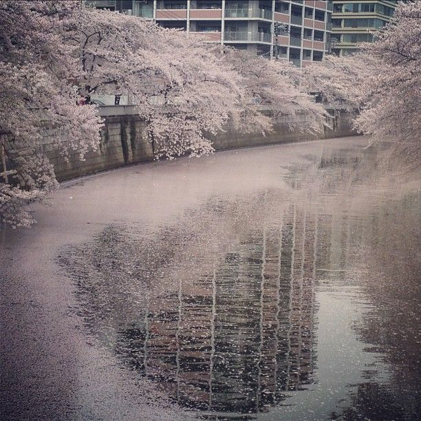 Cherry blossom petals covering over the surface of Meguro River, Tokyo.