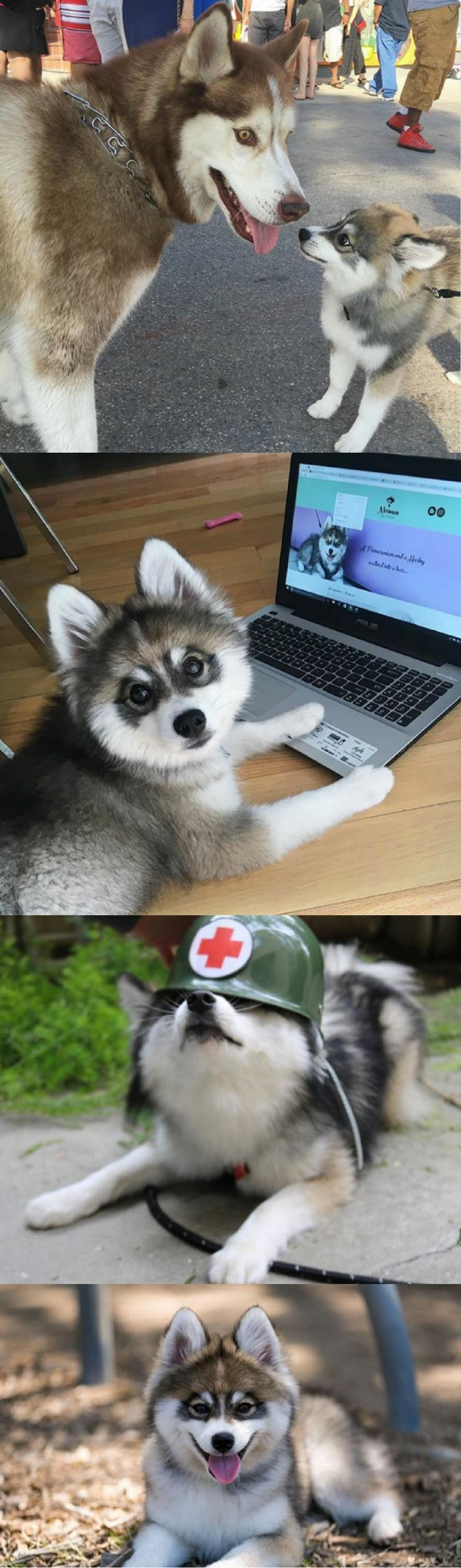 Ever seen a cross between a Husky and a Pomeranian? Well if the answer is no then you're in for a real treat.
