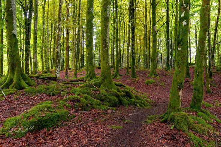 Green Beech Forest - In a beech forest outside Bergen, Norway