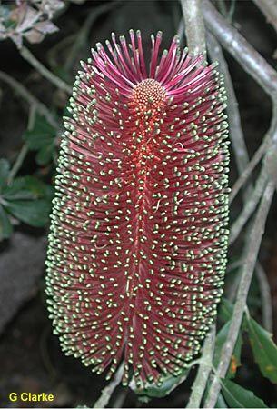 Banksia praemorsa [ Common Name: Cut-leaf banksia ]; Family: Proteaceae