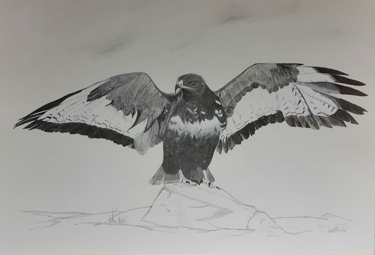 Jackal Buzzard landing on rock in Drakensberg, South Africa. Photograph (c) Francois A Venter (used with permission)