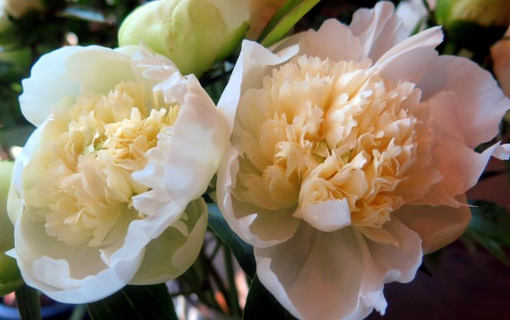 Sophisticated white peonies