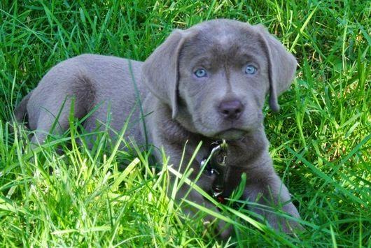 Silver Labrador Puppies For Sale Charcoal Labradors