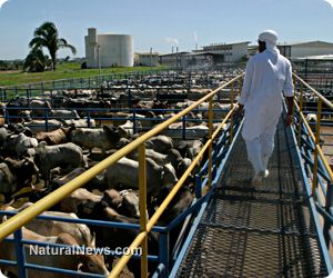 Tyson Foods Inc. no longer accepting for processing cattle that have been treated with the growth-accelerating drug, Zilmax. http://www.naturalnews.com/041654_Tyson_Foods_Zilmax_drug_meat_cattle.html