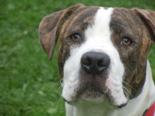 Taffy – 14 month old male American Bulldog dog for adoption at Mutts with Friends Dog Rescue Bristol