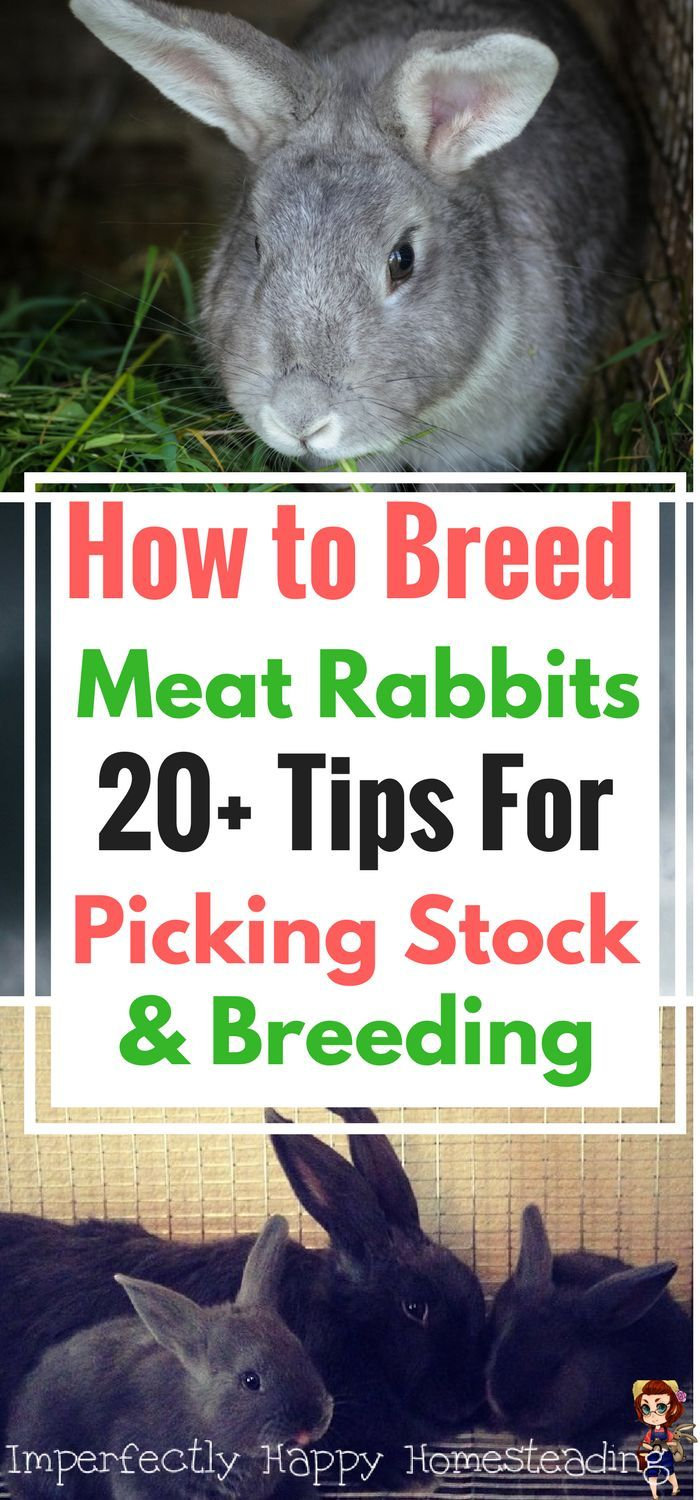 How to breed meat rabbits. More than 20 tips on picking stock and successful breeding practices.