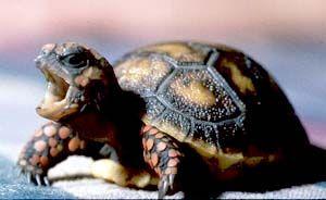Красноногая черепаха - Поиск в Google
