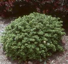 1000 images about plants shrubs on pinterest for Low maintenance evergreen shrubs