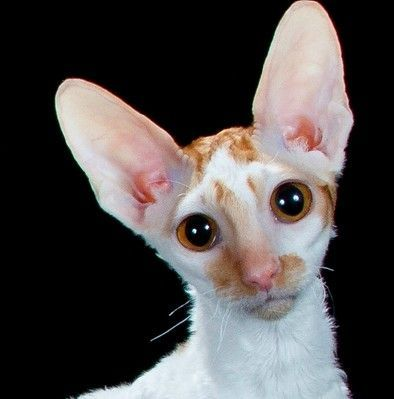 I know I know, but it's not my fault (cornish rex)