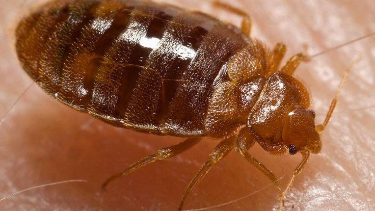 Bedwantsen nestelen zich het liefst in rode en zwarte lakens. Geel en groen beddengoed ontwijken de insecten juist. Ook de hoeveelheid eitjes die gelegd wordt verschilt per kleur.