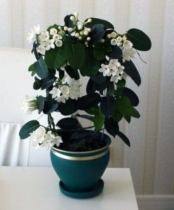 Madagascar Jasmine (Stephanotis floribunda) by spufi: A lovely tropical vine with glossy leaves and large, fragrant, waxy white flowers, often used for bridal bouquets. http://www.themarthablog.com/2012/08/stephanotis-the-wedding-plant.html Jasmine #Stephanotis_Floribunda