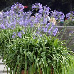 Agapanthus africanus - Herbaceous Border Plants - Van Meuwen