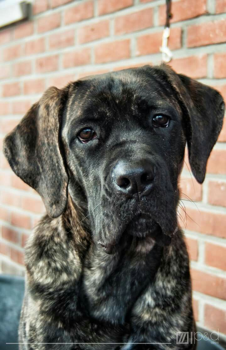 13 best cane corso italiano images on pinterest cane corso find this pin and more on cane corso italiano by nataschavdh79 geenschuldenfo Images