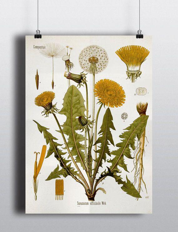 Antique Dandelion Flower Botanical Science Chart Illustration 1800s Vintage Print Wall Decor Wall Art Floral Decor Design Litograph Art