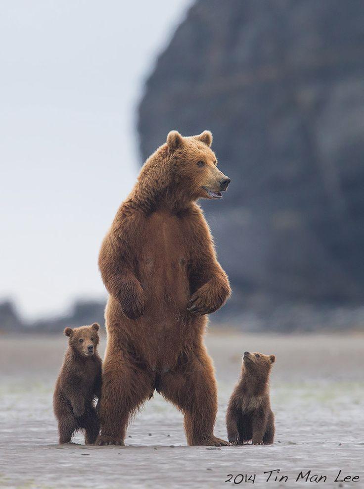 Bear family standing  Photo by Tin Man Parque Reserva Nacional Katmai, Alaska, Estados Unidos