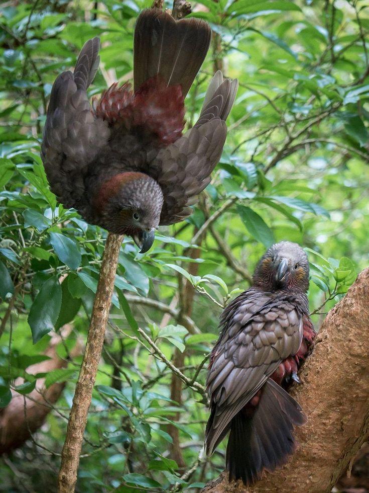 Coppia di pappagalli kaka - Nestor meridionalis