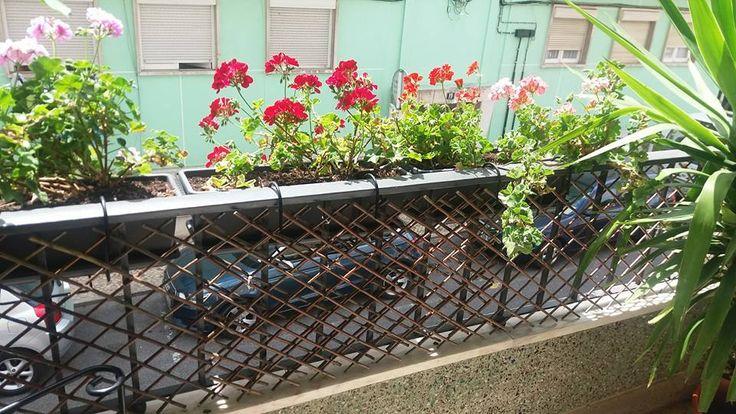 """Pelargonium x hortorum"" - Sardinheiras, Gerânios"