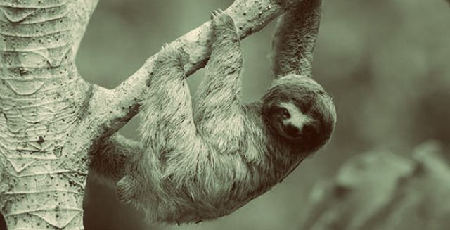 The Three-Toed Sloth | Facts | Photos | Videos | Gifs