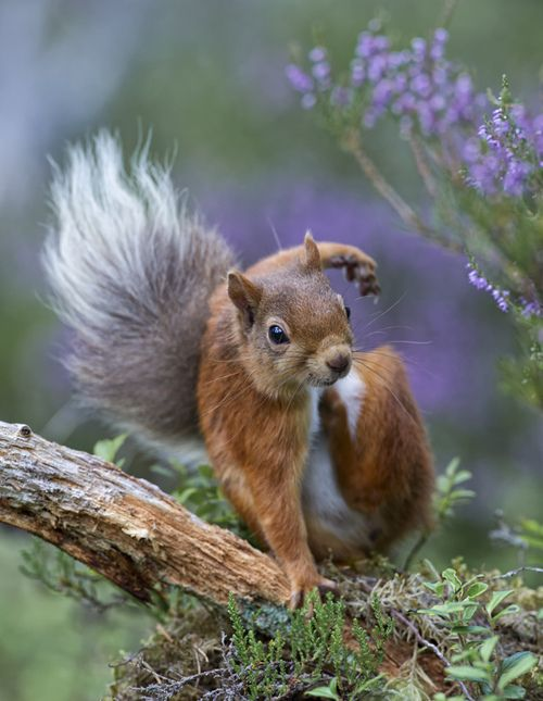 Squirrel swinging through the Celtic garden on a nice spring day #Celtic #Squirrel