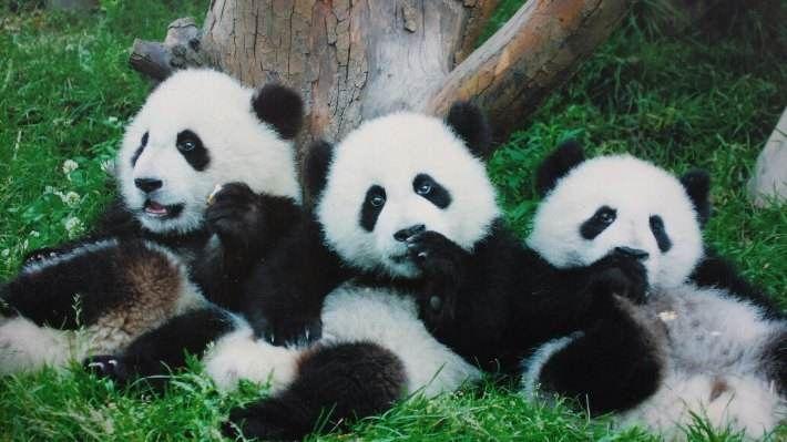 I Get 3 Pandas So Cute Panda Panda Panda Love Cute Animals