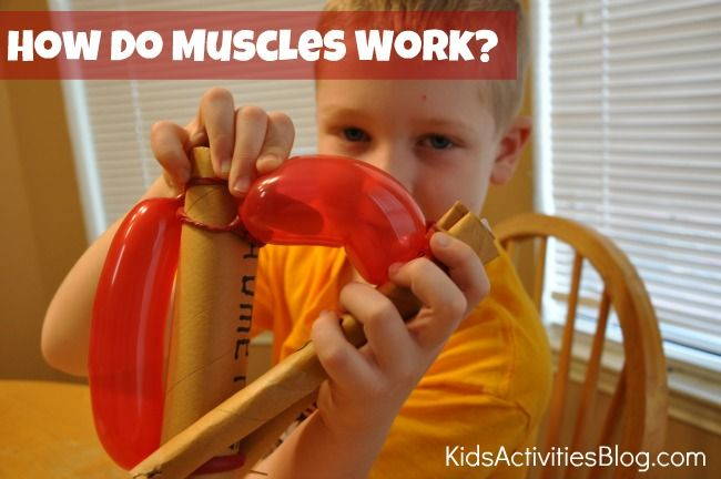 how do muscles work. #homeschool use with Apologia Exploring Creation With Anatomy http://bit.ly/apologiaanatomy