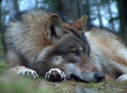 Стая волков и три охотника
