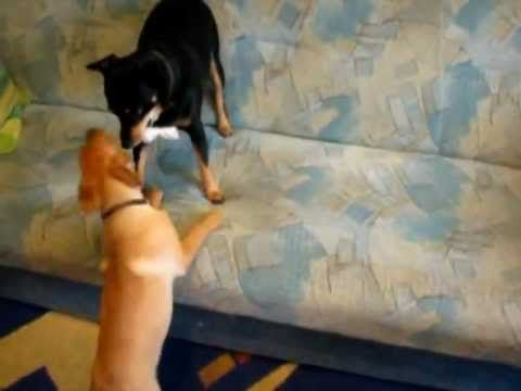 Funny Dogs Bulka & Kostik. They always fight