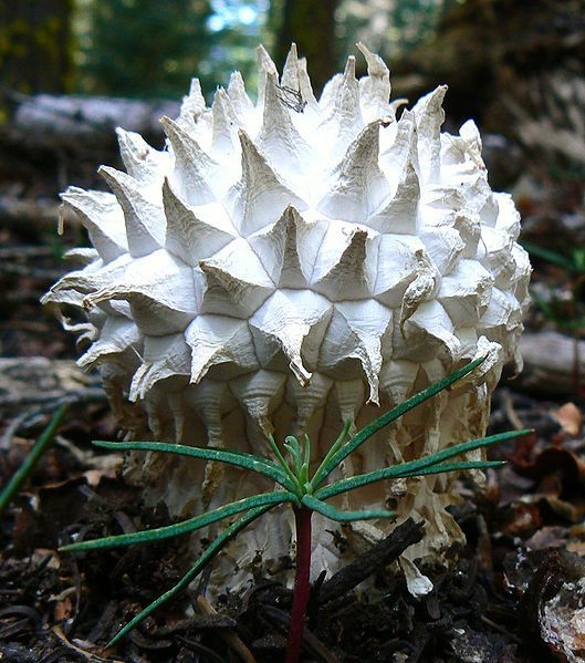The puffball mushroom (Calvatia sculpta) , Sequoia National Park, Tulare Co, California, USA.