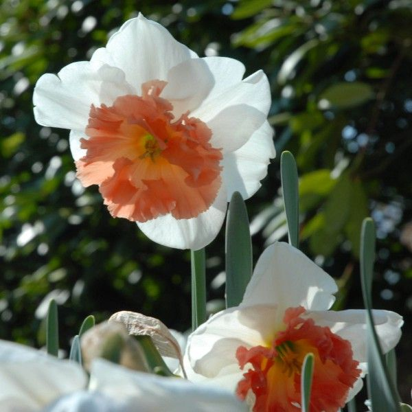 'Precocious' ist eine ausgezeichnete Narzisse mit einer außergewöhnlichen Farbe. Pflanzzeit ist im Herbst - online erhältlich bei www.fluwel.de